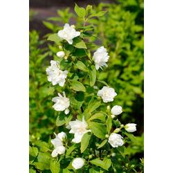 BCM Hecken Duft Jasmin Girandole, Höhe: 30-40 cm, 5 Pflanzen
