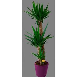 BCM Zimmerpflanze Riesenpalmlilie