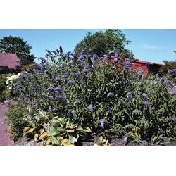 BCM Staude Sommerflieder Adonis Blue®, 3 Pflanzen