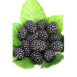 BCM Obstpflanze Brombeere Reuben, Höhe: 30-40 cm, 2 Pflanzen