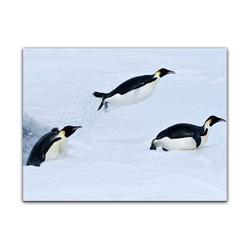 Bilderdepot24 Leinwandbild, Leinwandbild - Pinguin II 70 cm x 50 cm