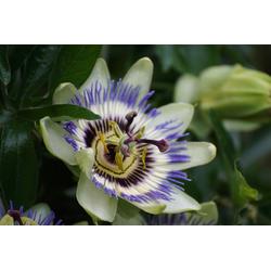 BCM Kletterpflanze Passionsblume caerulea Spar-Set, Lieferhöhe ca. 60 cm, 3 Pflanzen