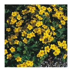BCM Staude Teppich-Golderdbeere