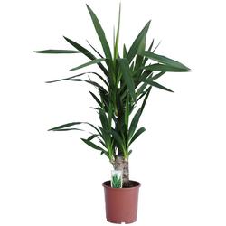 Dominik Zimmerpflanze Yucca-Palme, Höhe: 60 cm, 1 Pflanze
