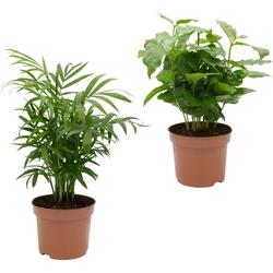Dominik Zimmerpflanze Palmen-Set, Höhe: 30 cm, 2 Pflanzen