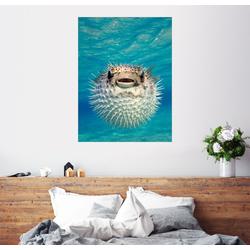 Posterlounge Wandbild, Aufgeblasener Kugelfisch 60 cm x 80 cm