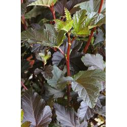 BCM Hecken Blasenspire Diabolo, Höhe: 30-40 cm, 3 Pflanzen