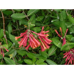 BCM Kletterpflanze Geisblatt henryi, Lieferhöhe ca. 100 cm, 1 Pflanze