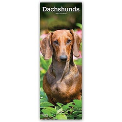 Dachshunds - Dackel 2021