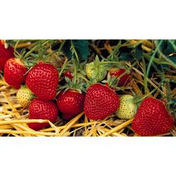 BCM Obstpflanze Erdbeere Florence, 24 Pflanzen