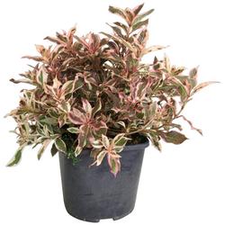 BCM Gehölze Weigela 'Monet' ®, Lieferhöhe: ca. 40 cm, 1 Pflanze