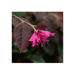 BCM Kletterpflanze Riemenblüte 'Blush', Lieferhöhe ca. 80 cm, 1 Pflanze