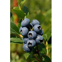 BCM Obstpflanze Heidelbeere Arto, Höhe: 30-40 cm, 1 Pflanze