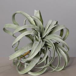 Tillandsia Pflanze grau/grün(DH 34x28 cm)