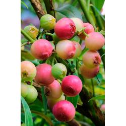 BCM Obstpflanze Säulenobst Heidelbeere Pink Limonade, Höhe: 50 cm, 2 Pflanzen