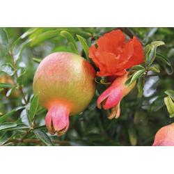 BCM Obstpflanze Granatapfel Favorite, 50 cm Lieferhöhe