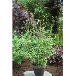 BCM Hecken Rufa Bambus, Höhe: 80-100 cm, 2 Pflanzen grün Heckenpflanzen Garten Balkon