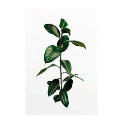 Komar Poster Ficus Branch, Pflanzen, Höhe: 40cm 50 cm x 70 cm