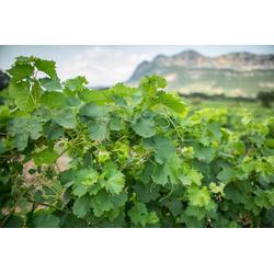 BCM Obstpflanze Wein gelb, Lieferhöhe: ca. 60 cm, 1 Pflanze