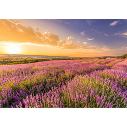 Papermoon Fototapete Lavender Field, glatt 3 m x 2,23 m