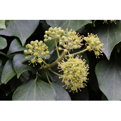 BCM Kletterpflanze Efeu helix Spar-Set, Lieferhöhe ca. 100 cm, 2 Pflanzen