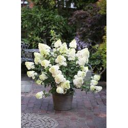BCM Gehölze Hortensie Sundae Fraise, Höhe: 50-60 cm, 1 Pflanze