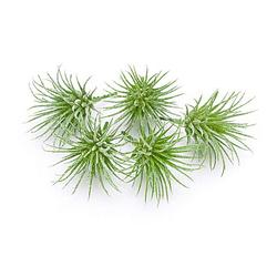 Tillandsien, grün, 7,5 x 6 cm, 5 Stück