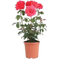 BCM Beetpflanze Rose Fragrant Cloud, Höhe 30 cm, 3 Pflanzen