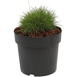 BCM Gräser Bärenfell-Schwingel scoparia 'Pic Carlit', Lieferhöhe ca. 30 cm, 1 Pflanze