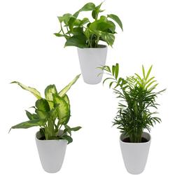 Dominik Zimmerpflanze Palmen-Set, Höhe: 30 cm, 3 Pflanzen in Dekotöpfen