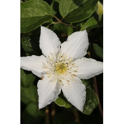 BCM Kletterpflanze Waldrebe weiß, Lieferhöhe ca. 100 cm, 1 Pflanze