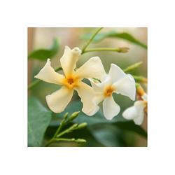 BCM Kletterpflanze Trachelospermum 'Chili & Vanilla' ® Spar-Set, Lieferhöhe ca. 60 cm, 2 Pflanzen