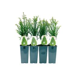 Heckenpflanze »Eibe«, 4er