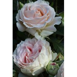 BCM Beetpflanze Rose Guernsey, Höhe 30 cm, 1 Pflanze