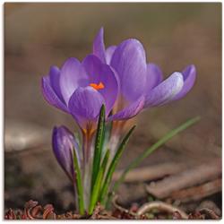 Artland Wandbild Frühlingsboten, Blumen (1 Stück) 50 cm x 50 cm