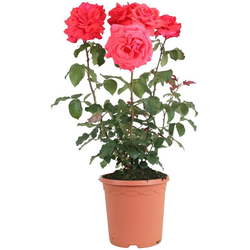 BCM Beetpflanze Rose Fragrant Cloud, Höhe 30 cm, 1 Pflanze