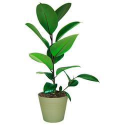 BCM Zimmerpflanze Gummibaum