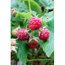 BCM Obstpflanze Himbeere Willamette, Höhe: 30-40 cm, 2 Pflanzen