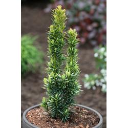 BCM Hecken Eibe David, Höhe: 30-40 cm, 3 Pflanzen