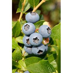 BCM Obstpflanze Heidelbeere Toro, Höhe: 30-40 cm, 1 Pflanze