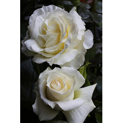 BCM Beetpflanze Rose Isle of White, Höhe 30 cm, 3 Pflanzen