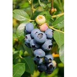 BCM Obstpflanze Heidelbeere Aino, Höhe: 30-40 cm, 1 Pflanze