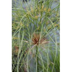 BCM Gräser Papyrus 'Nofretete', Lieferhöhe ca. 40 cm, 1 Pflanze