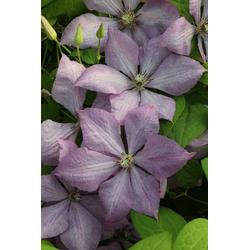BCM Kletterpflanze Waldrebe 'Comtesse de Bouchaud' Spar-Set, Lieferhöhe: ca. 60 cm, 2 Pflanzen