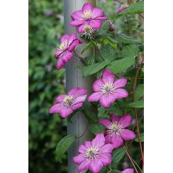 BCM Kletterpflanze Waldrebe 'Ville de Lyon' Spar-Set, Lieferhöhe ca. 60 cm, 3 Pflanzen