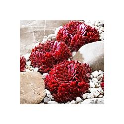 Korallenroter Hauswurz  im ca. 9 cm-Topf