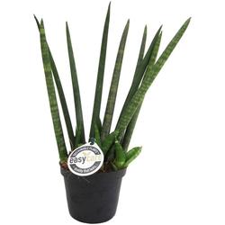 Dominik Zimmerpflanze Bogenhanf Sky Long, Höhe: 20 cm, 1 Pflanze