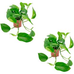 Dominik Zimmerpflanze Efeututen, Höhe: 30 cm, 2 Pflanzen