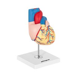 Herzmodell - in 2 Teile zerlegbar - Originalgröße