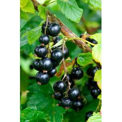 BCM Obstpflanze Säulenobst Schwarze Johannisbeere Öjebyn, Höhe: 50 cm, 1 Pflanze